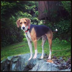 Murray, the American Foxhound. American Foxhound, The Fox And The Hound, Corgi, Animals, Image, Corgis, Animales, Animaux, Animal