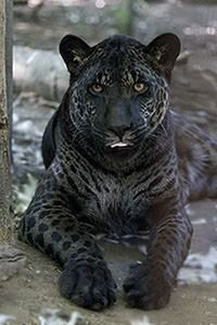 This a Jazhara also know as a jaglion. Had a jaguar as a father and a lion as mother. They are beautiful!!