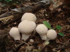 Parelstuifzwam (Lycoperdon perlatum), Barberino Italie