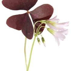 Also known as woodsorrel, this St. Patrick's Day favorite provides beauty and interest as an indoor plant.