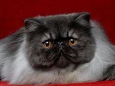 I colori del gatto persiano | Petpassion Blog