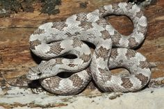 Gray Rat Snake - an all time favorite