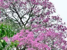 Alguma vez você ouviu alguém dizer para que serve ipê roxo em termos medicinais? É isso mesmo. A árvore com floração abundante de róseo a roxo, que se destaca facilmente quando em flor, está entre os produtos amazônicos mais procurados para tratamentos medicinais, sendo muito usado na medicina popular no combate de câncer e inflamações.  http://www.farmaciaeficacia.com.br/blog/ipe-roxo-para-combater-doencas/