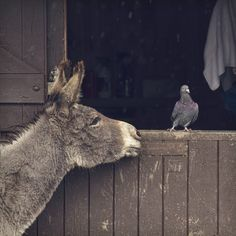 Hey Pigeon, want to be friends with me? I'm a mule...we love other animals.