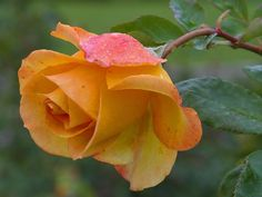 Free Flower Jigsaw Puzzles: Yellow Rose Jigsaw Puzzle