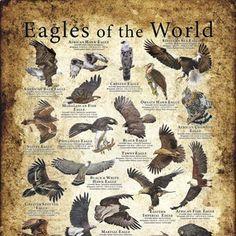 Eagles of the World Poster Print | Etsy Harpy Eagle, Bald Eagle, Chicken Breeds Chart, Eagle Art, Bird Prints, Eagles, Mammals, Art Reference, Illustration Art