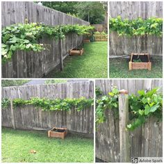 A place for the best guides, pictures, and discussions of all things related to plants and their care. Grape Vine Pruning, Grape Vine Plant, Grape Vine Trellis, Grape Tree, Grape Vines, Muscadine Vine, Fruit Garden, Vegetable Garden, Pergola