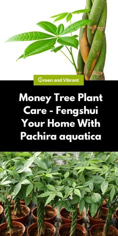 The Money Tree Plant, also known as Pachira aquatica, is also a popular choice as an indoor or bonsai tree. It is easy to grow and maintain. Let's learn more about this interesting houseplant that will bring positivity to your home Indoor Bonsai Tree, Indoor Trees, Indoor Plants, Bonsai Ficus, Bonsai Soil, Juniper Bonsai, Bonsai Art, Bonsai Plants, Money Tree Plant Care