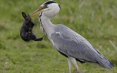 """Just in case you had forgotten where the dinosaurs went... """"Heron catches and eats a rabbit"""". Photos by Ad Sprang."""