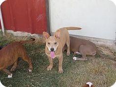 Shiba Inu/Labrador Retriever Mix Puppy for adoption in Portland, Oregon - Dexter