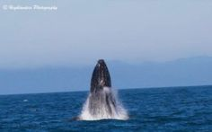 Wonderful Humpbacks We encountered wonderful Humpbacks today on both our tours :) We could see several blows all over the straight as we sat and watched. Our best encounter was with 2 Humpbacks, on… Five Star, Whale Watching, Whales, This Is Us, Stars, Animals, Animales, Animaux, Whale