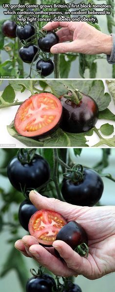 Black Tomatoes! These would be fun to grow.
