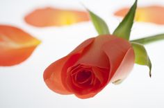 A beautifully composed shot of a dusky orange rose from S Pell of Grantham - place and a voucher is on its way to you!