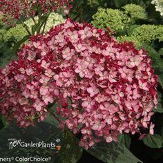 Invincibelle® Ruby Smooth hydrangea
