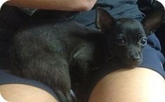 BLACK BEAUTY *McAllen, TX - Chihuahua. Meet Black Beauty, a puppy for adoption. I am purebred, up to date with shots, good with kids, good with dogs, and good with cats. http://www.adoptapet.com/pet/11215323-mcallen-texas-chihuahua