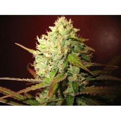 Lemon Skunk by Green House Seeds. 3 SEEDS FROM 15.30€. You can buy it in our online shop clicking the photo! #cannabis #ganja #420 #weed #marijuana
