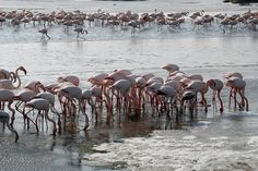 Pink flamingoes at the partially frozen marshland of the Camargue region, southern France..