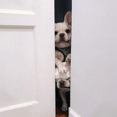 Peeking into French Bulldog SECRETS!