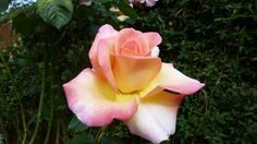 Pink, white and yellow colours revealed in this lovely rose photo from J Boast, Ashford