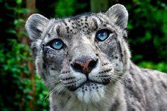 Blue eyes - like Kitza!  (but Kitza's a full-on tigress)