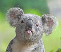koala bear :p Koala Meme, Funny Koala, Funny Bears, Cute Funny Animals, Cute Baby Animals, Animals And Pets, Funny Animal Memes, Cat Memes, Funny Bear Pictures