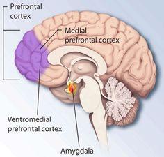 La imagen muestra la ubicación de la corteza prefrontal en el cerebro.