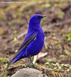 Grandala (Grandala coelicolor) in India.  This bird is now placed in the Trush family (Turdidae).