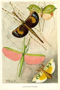 skbird:    Orthoptera by F W Frohawk via ici et maintenant