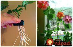 Môže vám rozkvitnúť už čoskoro. Toto je najjednoduchší spôsob, ako získať nádhernú čínsku ružu. Plant Hanger, Projects To Try, Herbs, Gardening, Flowers, Ideas, Plants, Hacks, Hydroponics