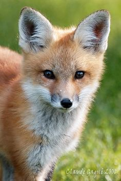 Red Fox Cub by Claude Gagné - photo.net