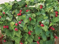 Potted Raspberry in Your Garden - http://www.organicfarmingblog.com/potted-raspberry-garden/