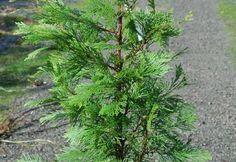 Calocedrus decurrens,  Incense Cedar