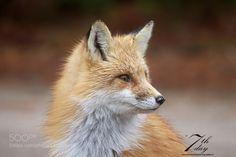 Red fox #PatrickBorgenMD