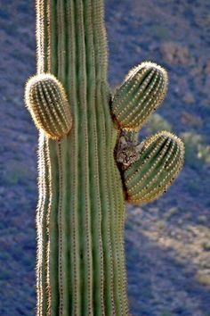 Bobcat hiding in a cactus at Organ Pipe Cactus National Monument...
