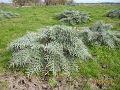 EVBJUAN -Cynara cardunculus --CARDO DE CASTILLA  -PARAJE EL CHAJA   BRANDSEN Plants, Planters, Plant