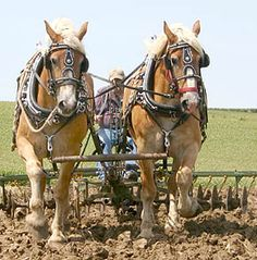 Team of Belgians plowing the fields Big Horses, All About Horses, Work Horses, Palomino, Farming Techniques, Horse Harness, Shire Horse, Clydesdale, Horse Drawn