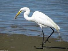 Image result for photos of egrets