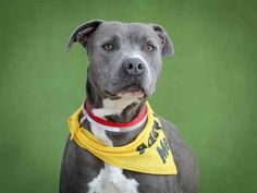 BUBBA JOHN - ID#A5026483\r\n\r\nMy name is Bubba john and I am described as a neutered male, gray and white Pit Bull Terrier\r\n\r\nThe shelter thinks I am about 1 year and 3 months old.\r\n\r\nI have been at the shelter since Mar 03, 2017.\r\n\r\nFor more information about this animal, call:\r\nLos Angeles County Animal Control - Carson at (310) 523-9566\r\nAsk for information about animal ID number A5026483