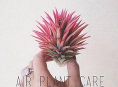 air plant care.