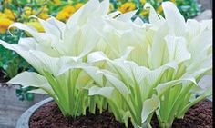 Groupon - White Feather Hosta Bare Roots (3-Pack). Groupon deal price: $19.99