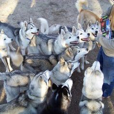 Huskies in New Hampshire, courtesy Valley Snow Dogs, LLC.