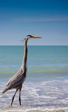 Heron on Captiva Island~an island in Lee County, Florida, just offshore the Gulf of Mexico, just north of Sanibel Island.