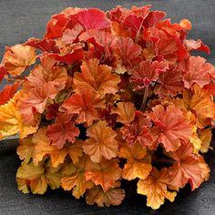 Phoenix Perennials - Nursery - Plant Display - Heuchera Northern Exposure Amber ('Tnheunea') - Coral Bells