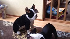 "Boston Terrier discovering his Christmas present under the tree, a large stuffed Boston Terrier! Watch the video with this 18 months old Boston Terrier named Jerry. His owner says : ""Shy at first, Jerry soon performs his classic 'Let's play!' behavior - usually reserved for th"