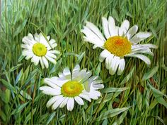 White Daisies - Watercolor Flower Painting by Doris Joa