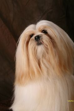Lhasa Apsos are smart, sweet dogs with an independent streak. They're often more feline-like than canine. A truly lovable breed.