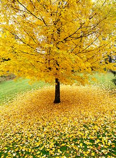 Allan Mandell - One of my favorite sights in autumn is a pool of gold under a gold tree.