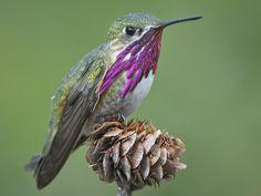 Our beloved Calliope Hummingbird