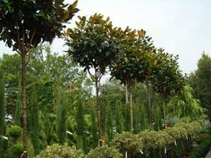 Magnolia Full Standard Topiary underplanted with holly Magnolia Trees For Sale, Evergreen Magnolia, Evergreen Trees, Tree Stakes, Plant Order, Specimen Trees, Magnolias, Garden Inspiration