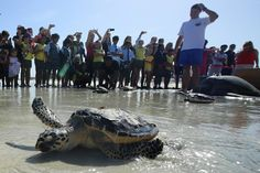 Abu Dhabi pupils cheer as rehabilitated turtles are released back to sea